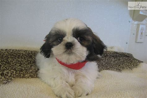 characteristics of shih tzu dogs shih tzu puppies and dogs traits and behaviors breeds picture