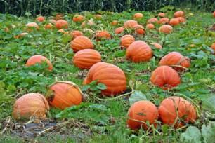 when do i plant pumpkins for garden tech support tuesday pumpkins gardening