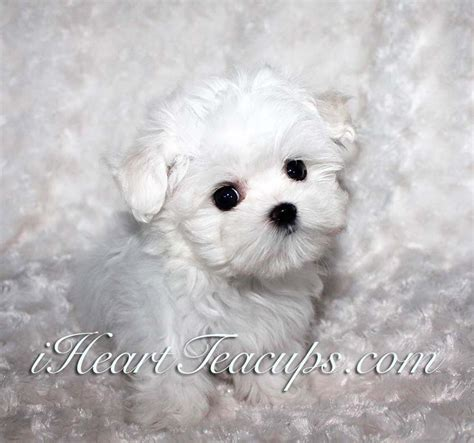 teacup maltese puppy micro teacup maltese puppy for sale iheartteacups