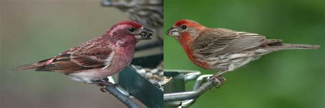 difference between purple finch and house finch difference between purple finch and house finch 28 images the distracted birders