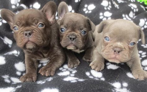 pied bulldog puppies for sale blue bulldog puppies for sale chocolate pied fawn breeders