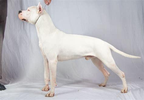 dogo puppies for sale dogo argentino puppies for sale akc puppyfinder