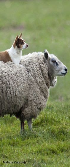 all hail the ram ram meets milk sheep border leicester sheep i used to some they were