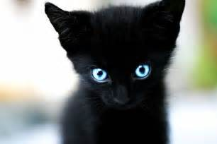 black kitten with blue eyes picture on imgfave