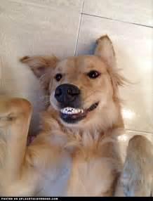 golden retriever smile 128 best golden retriever s images on