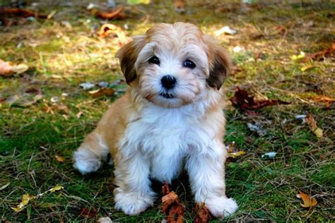 havanese breed havanese puppies and havanese dogs characteristics