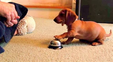 how to train dog to ring bell for bathroom man training puppy creates bell ringing monster