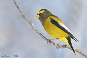 for the birds evening or wandering grosbeaks