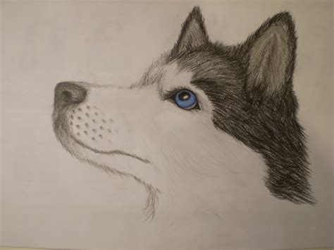 husky puppy drawing image gallery husky drawings