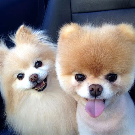 images of pomeranian puppies pomeranian pictures popsugar pets