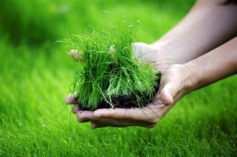 menanam rumput jepang  baik  benar rumahliacom