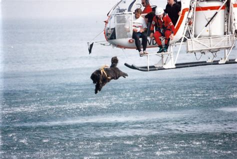 water rescue dogs amazing dogs jump from helicopters and boats to save lives
