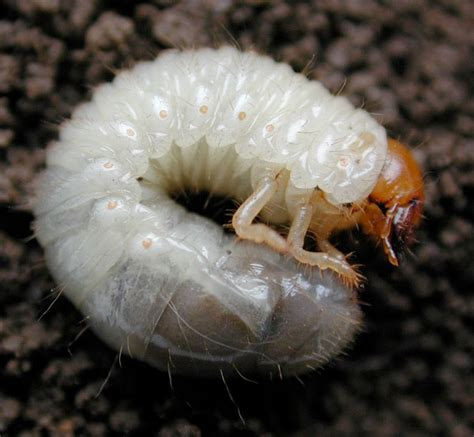 white grubs pest note half moon bay community association