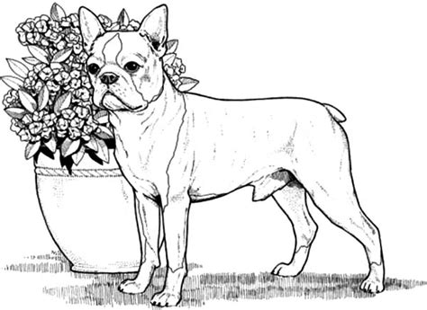 boston terrier coloring page boston terrier coloring sheets coloring pages