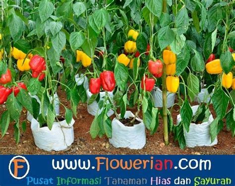 Bibit Buah Paprika cara menanam paprika sendiri di rumah tanaman hias bunga
