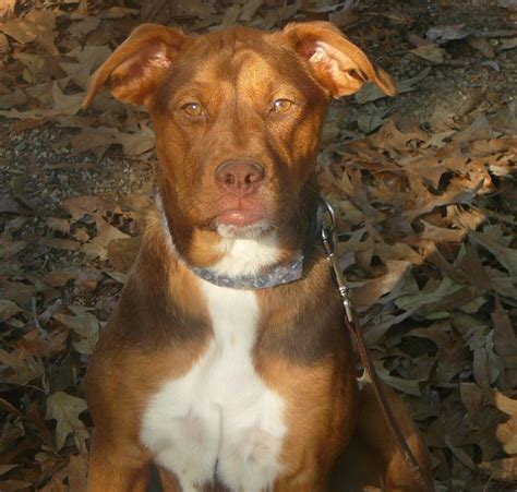 golden retriever and pitbull mix 1000 images about pits my other favorite doggies on