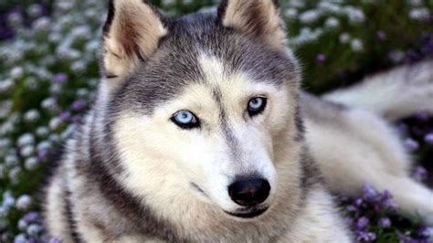 husky wallpaper blue eyes latest hd wallpaper siberian husky blue eyes