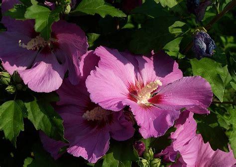 hibiskus schneiden wann hibiskus schneiden hibiscus syriakus roseneibisch eibisch
