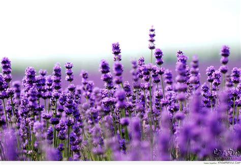sự t 237 ch hoa lavender hoa oải hương thế giới lavender