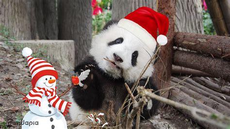 merry christmas  panda family giant panda channel