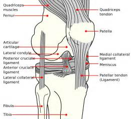 Interior Knee Ligament File Knee Diagram Svg Wikipedia