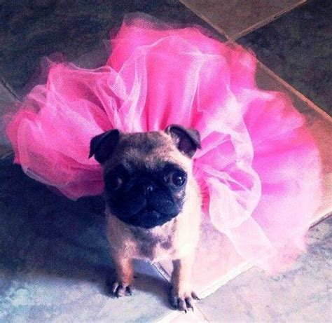 pug in a tutu pin by jeanne beacom on flat faced dogs
