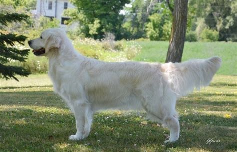 southern cross golden retrievers southern cross golden retrievers news