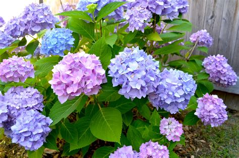 hydrangea in bloom pop circumstance guidebook for beautiful living