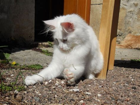 fotos de gatos gatos angora gemelos jpg pictures to pin on pinterest gatos angor 225 turco gatosmania com