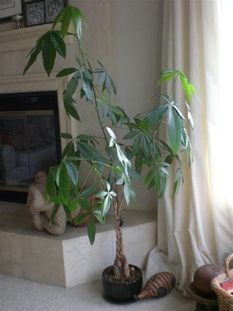 chinese money tree   cool  good luck