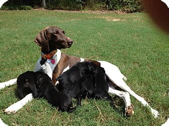 rottweiler pointer mix 7 wk pups adopted puppy albany ny rottweiler german shorthaired pointer mix