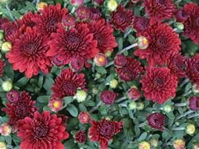 mum flowers hgtv