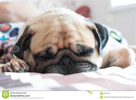 puppy sleeping in bed close up face of cute pug puppy dog sleeping on bed stock