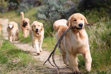 fruits for golden retriever these 12 adorable golden retrievers will make you a better person