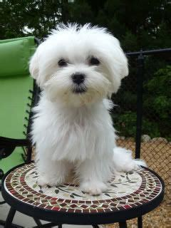 how to do a puppy cut on a yorkie puppy cut to resemble an 8 week page 2 maltese dogs forum spoiled maltese