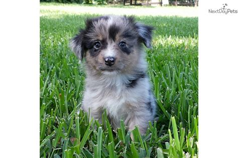mini american shepherd puppies miniature american shepherd puppy for sale near orlando florida 296022d9 7641