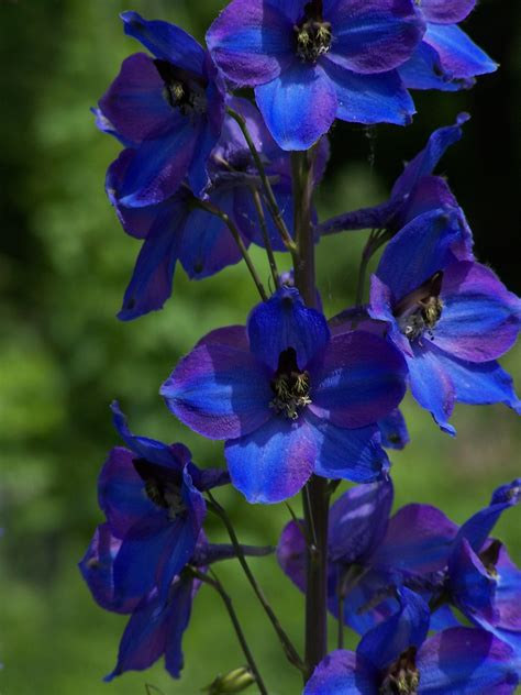 delphinium larkspur plant care guide and varieties auntie dogma s garden spot