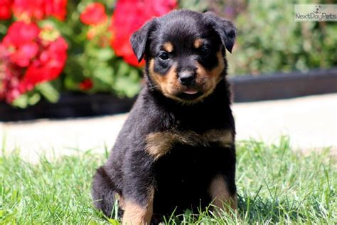 baby rottweilers for sale meet baby a rottweiler puppy for sale for 700 baby rottweiler