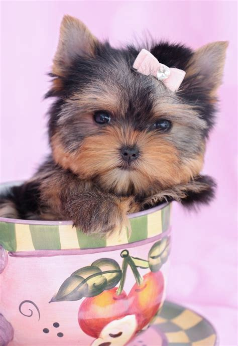 yorkie boutique 10 best images about teacup yorkies yorkie puppies on puppys yorkies
