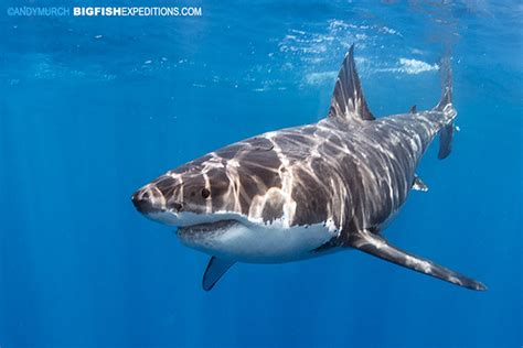 great white shark dive cage diving with great white sharks 2016 trip report