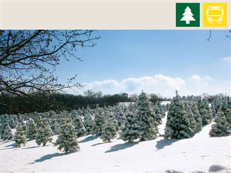strawberry hill christmas tree farm growing lawrence