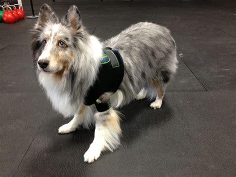 and shoulders for dogs orthopets hobbles vest orthopets