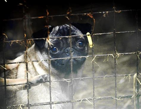 pug farm uk how tiny handbag dogs are being bred in conditions of horrific cruelty daily mail