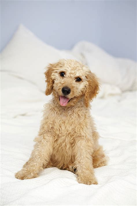 doodle puppy breeds labradoodle breed information pictures