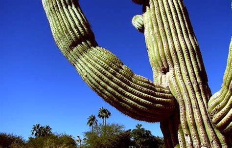 swinging cactus angry swinging cactus