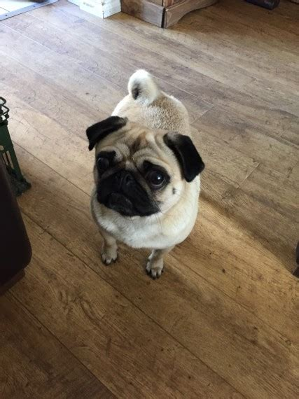 3 year pug 3 year pug keighley west pets4homes