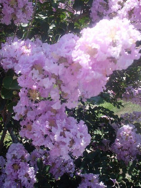 myrtle light light purple crape myrtle flowers photograph by warren