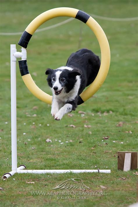 how to a for agility trials agility trial kea photography