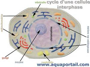 Mitosis and meiosis diagram in addition interphase definition as well