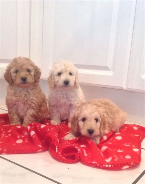 labradoodles puppies for sale kent labradoodle puppies f2 orpington kent pets4homes